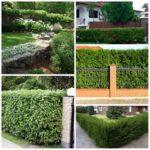 «Живая» изгородь вокруг вашего дома