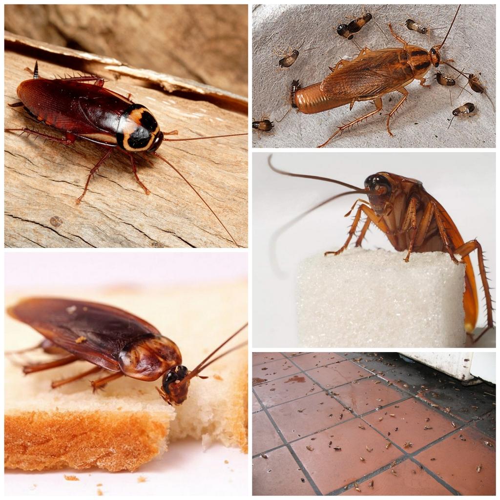 Как избавиться от тараканов в своем доме?
